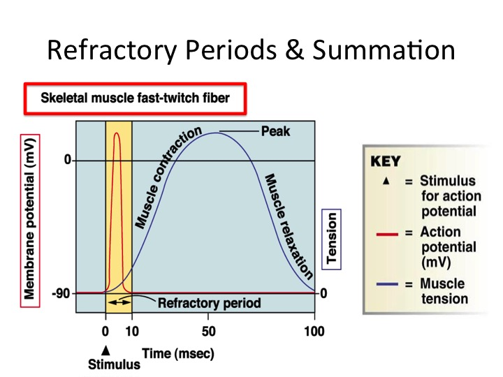 Heart 2 smart how does the prolonged cardiac action potential as a result of this short refractory period a second action potential can be fired immediately after the refractory period causes summation of the ccuart Image collections