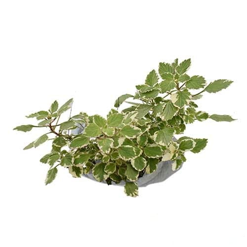 Swedish Begonia Variegata