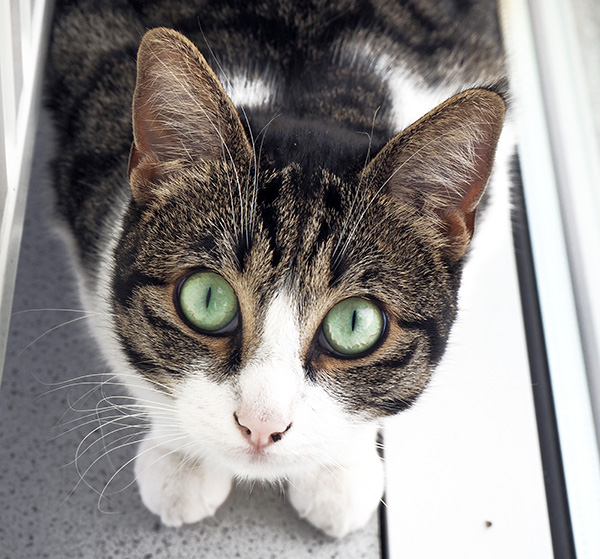 cat with piercing green eyes