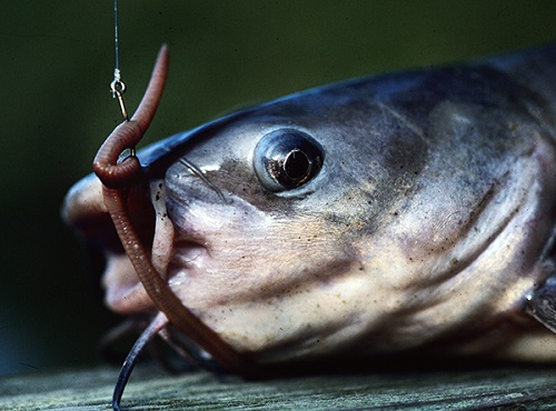 catfish food