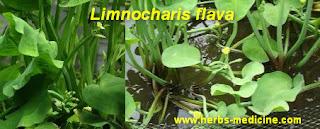 Herbalife use Limnocharis flava