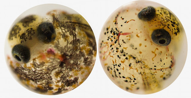 An evolutionary rescue in polluted waters