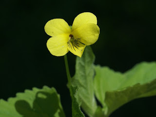 Photo de Violette jaune