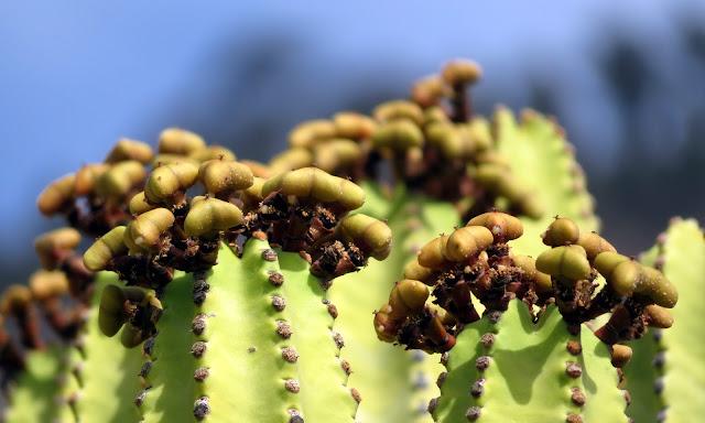 Euphorbia canariensis f. viridis