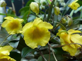 Dendrobium aggregatum x Dendrobium jenkinsii