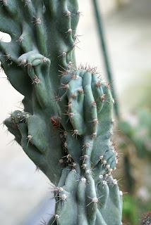 Cierge du Pérou - Cereus hildmannianus - Cereus peruvianus