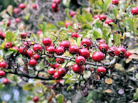 مدونة مدرسة طائر الفينيق الخاصة طرطوس الطالبة سارة أبو سعدة 4c نبات العوسج