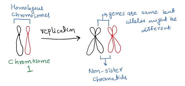 homologous chromosomes and sister chromatids The key difference between chromosome and chromatid is that a chromosome is a long thread-like form of a dna molecule while a chromatid is one-half of two identical copies of a replicated chromosome in fact, two chromatids are joined together by a centromere to form a chromosome chromosomes carry genetic information.