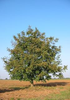 Walnut tree 20041012 2599 746816