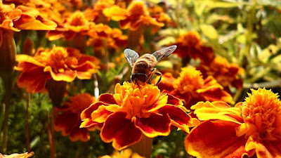 méhecske - virág