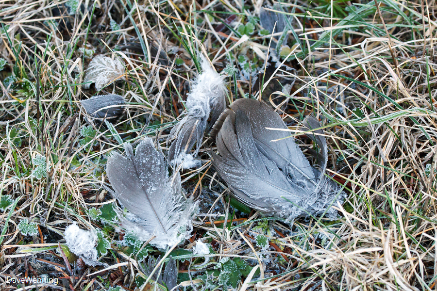 Kill Site Feathers