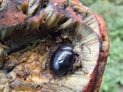 Grzyby wiosenne, grzyby w czerwcu, grzyby na Orawie, grzybobranie w czerwcu, koszyk grzybów w czerwcu, borowik ceglastopory Boletus luridoformis, koźlarz czerwony Leccinum aurantiacum, gołąbek Russula, muchomor Amanita, śluzowce,rulik nadrzewny, dzieci na grzybobraniu, dzieci zbierają grzyby