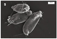 http://sciencythoughts.blogspot.co.uk/2014/03/a-new-species-of-gall-mite-from-tripura.html