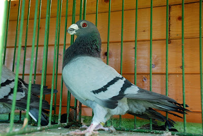 dragon pigeon - british pigeons