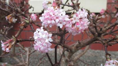 Viburnum bodnantense scented winter shrub Green Fingered Blog