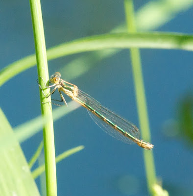 Emerald Spreadwing (Lestes dryas) female
