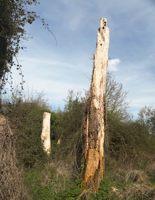 Two dead tree stumps surrounded by brambles.