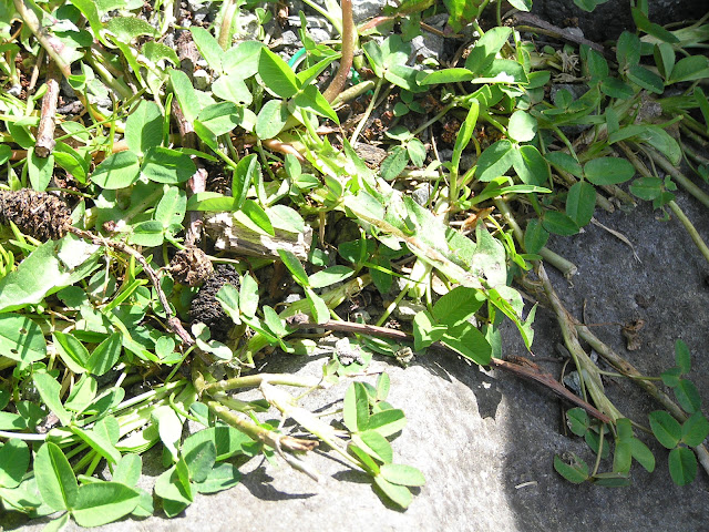clover edible weeds
