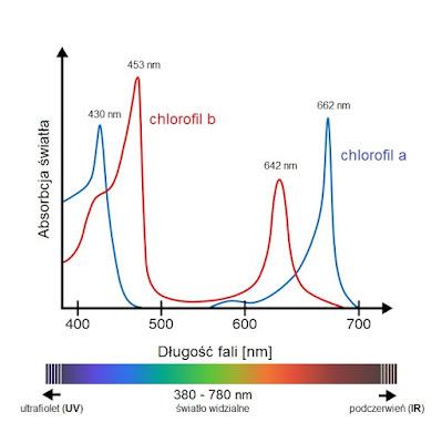 pochłanianie światła przez chlorofil wykres