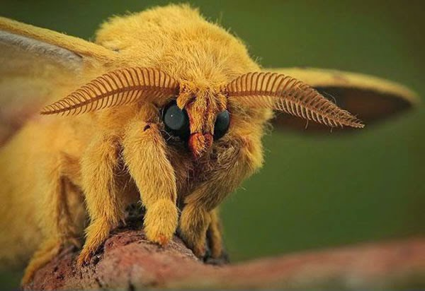 Animals You May Not Have Known Existed - Venezuelan Poodle Moth