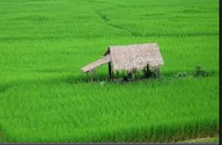 Tips Jitu Agar Tanaman Padi Sehat Bebas Pestisida Paling Lengkap