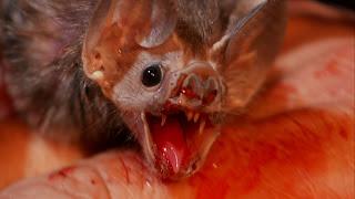 Ao contrário do que muitos pensam, morcegos vampiros não possuem anestésico na saliva. Porém, eles têm um forte anticoagulante na saliva, que retarda a cicatrização da ferida, permitindo que se alimentem por mais tempo e sem serem percebidos pelas vítimas.  Eles são equipados ainda de; dentes muito pequenos e afiados, corpo leve, com cerca de 30 gramas e sentido de termopercepção, que os auxilia a descobrir os vasos sanguíneos mais superficiais. Com  isso é possível aplicar uma mordida mais rasa e menos dolorida, dificultando que uma vítima adormecida acorde durante a mordida. Assim eles podem se alimentar por mais tempo sem serem percebidos.