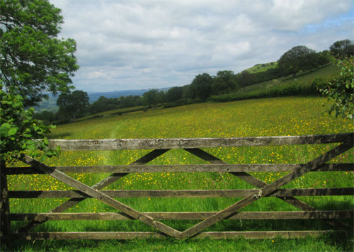 buttercup meadow wales