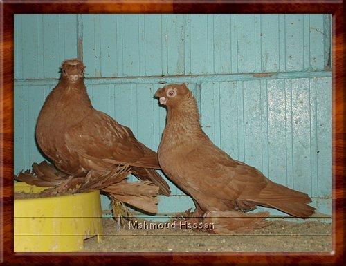 birds for sale   Buy bird   Buy birds   Sell birds