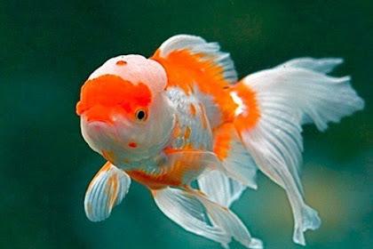 25+ Jenis Ikan Mas Koki dan Gambarnya [Terlengkap!]