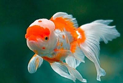 Ikan Perusak Aquascape - Ikan Mas Koki