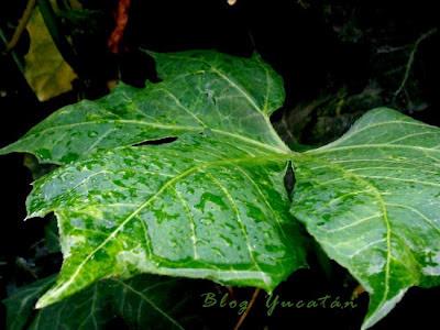 Hoja de Chaya Planta Yucatan Mexico