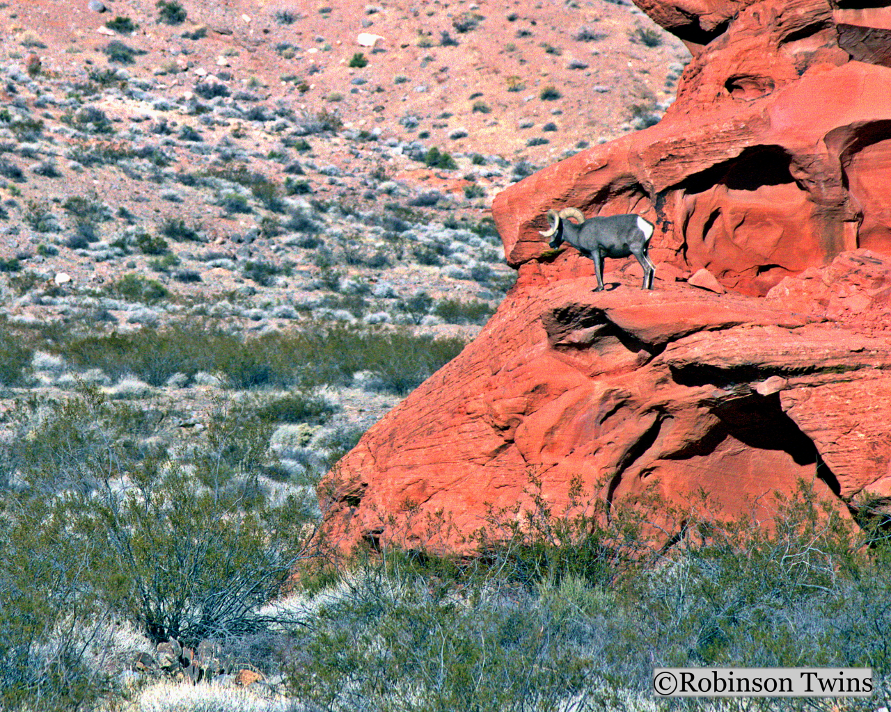 Robinson Twins Photo Gallery Desert Bighorn Sheep On Red Sandstone Valley Of Fire Nevada