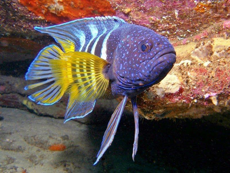 Gambar Ikan Laut Blue Devil