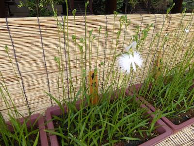 坐摩神社のサギソウ 青葉