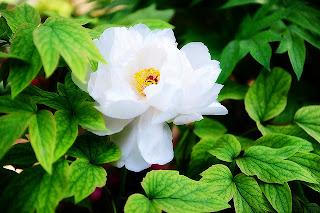 Peonia blanca