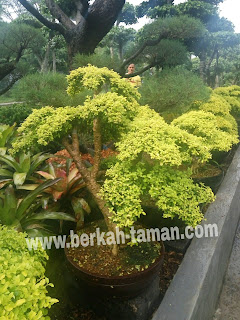 Tukang taman jual bonsai legistrum