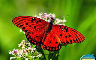 حمل وشاهد اجمل مجموعة خلفيات وصور 110 خلفيه وصوره لاجمل انواع واشكال الفراشات بحجم 34 ميجا بايت رابط مباشر