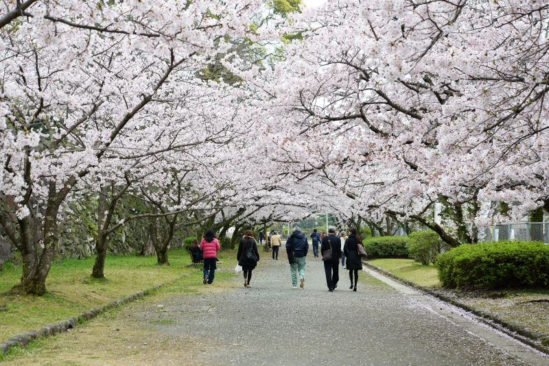 Image result for maizuru park sakura