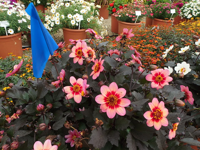 My selected favourite of the day, a single-bloomed, dark leaved dahlia