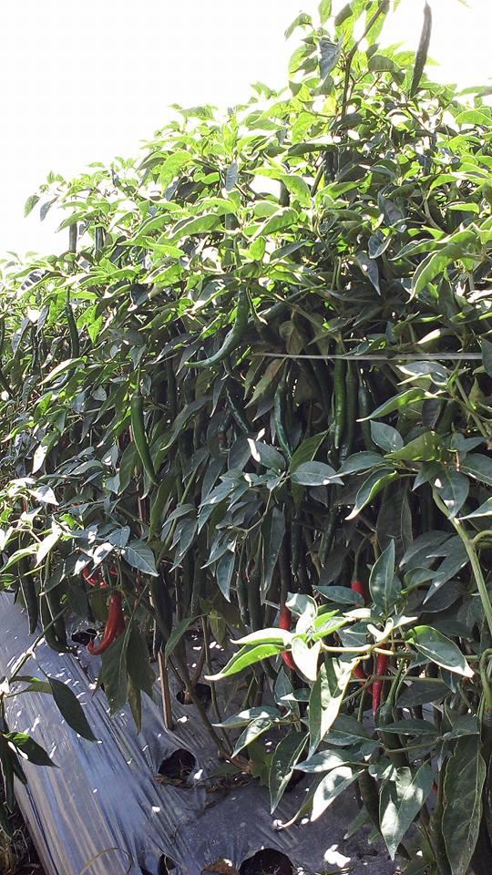 Tanaman Cabe Tumbuh Subur dengan Jenis Tanah yang Tepat