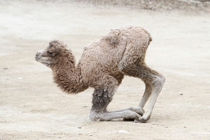 Baby Animals: Camel - Calf 4