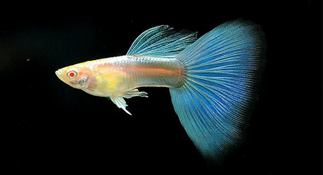 Ikan Guppy Blue Moscow Albino - Cara Budidaya Ikan Guppy