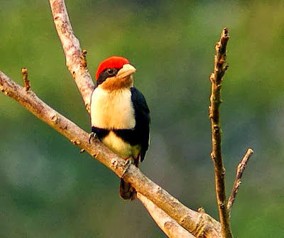 Black girlded Barbet