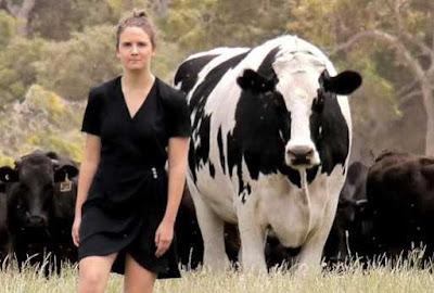 Sapi Raksasa Australia yang Tidak Jadi Dipotong Bernama Knickers