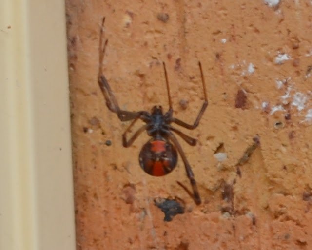 Close-up view of underside of a redback spider showing its black body and legs with distinctive red markings on its abdoment..