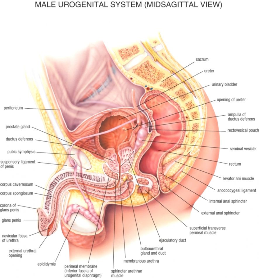 drawings of the anatomy of the groin with anatomical remarks