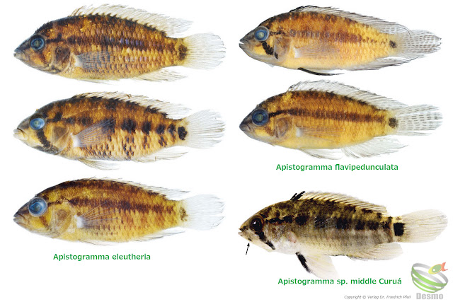 Apistogramma new species