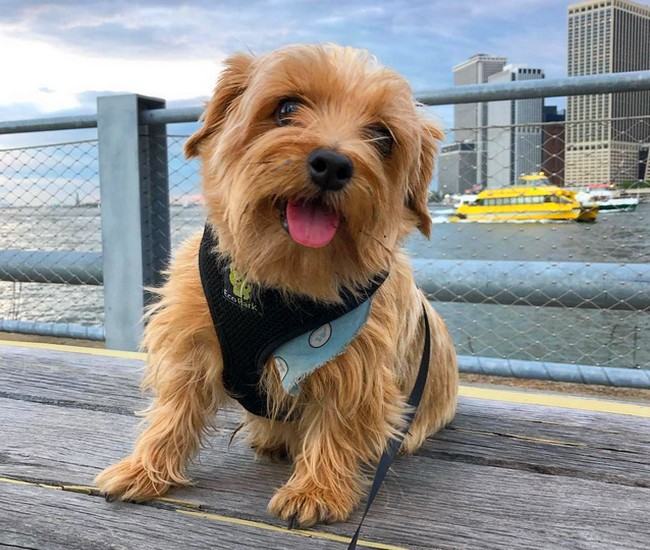 Le Norfolk Terrier