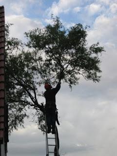 Die letzten Zweige werden gekappt...