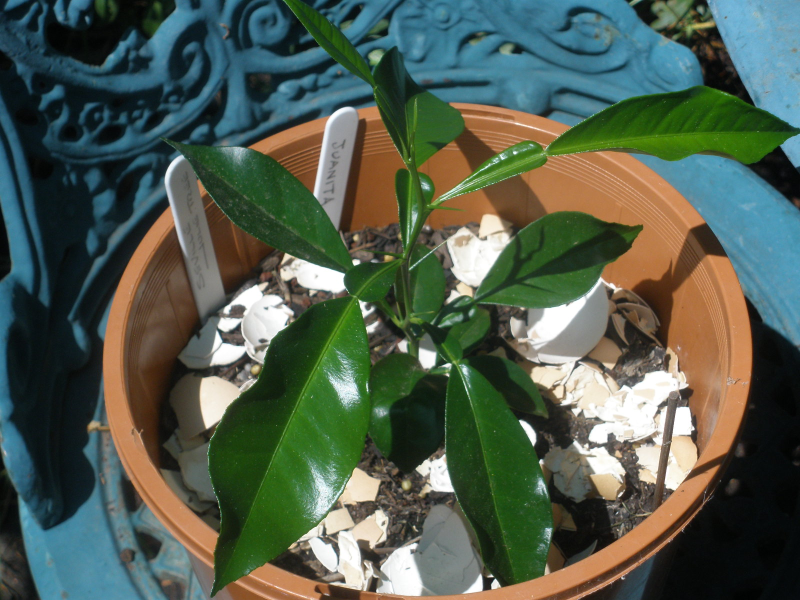 How To Grow An Orange Tree From Seed